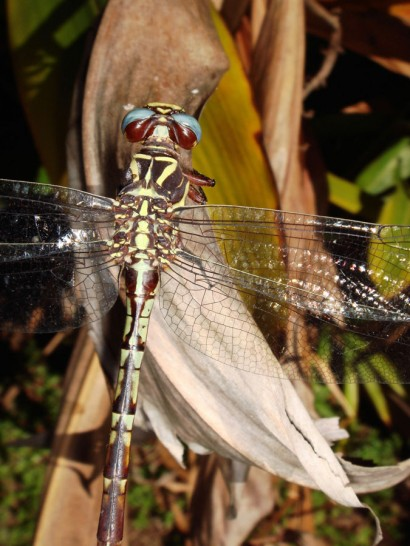 Dragonfly_Optimized